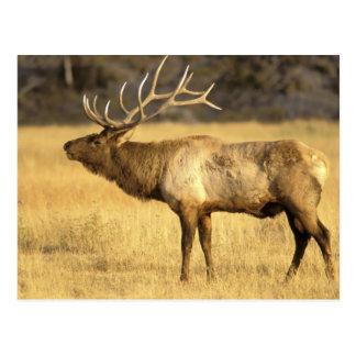 USA, Wyoming, Yellowstone National Park. Bull Postcard