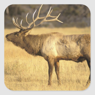 USA, Wyoming, Yellowstone National Park. Bull Square Sticker