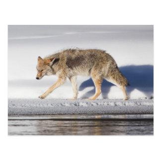 USA, Wyoming, Yellowstone National Park, Coyote 1 Postcard