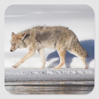 USA, Wyoming, Yellowstone National Park, Coyote 1 Square Sticker