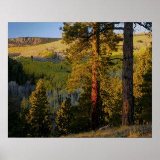 UTAH. Ponderosa pines & aspen, autumn. Sunrise, Poster