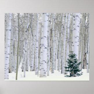 UTAH. USA. Aspen (Populus tremuloides) & Douglas Posters