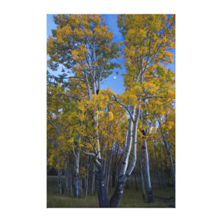 Utah. USA. Aspen Trees And Moon At Dusk Stretched Canvas Prints
