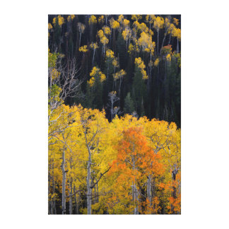 Utah. USA. Aspen Trees In Autumn On The Sevier Gallery Wrap Canvas