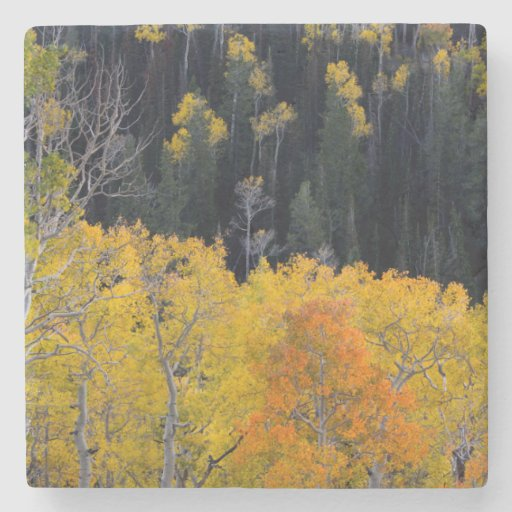 Utah. USA. Aspen Trees In Autumn On The Sevier Stone Beverage Coaster