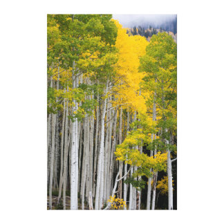 Utah. USA. Aspen Trees (Populus Tremuloides) Stretched Canvas Print