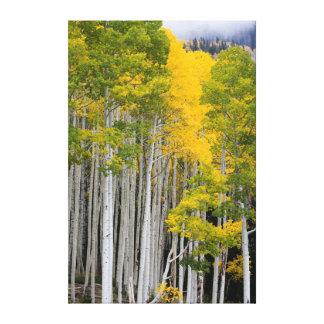 Utah. USA. Aspen Trees (Populus Tremuloides) Canvas Prints