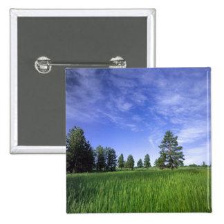 UTAH. USA. Ponderosa pines Pinus ponderosa) & 15 Cm Square Badge