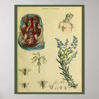Uterus Abdomen Arteries Bees Anatomy Art Print