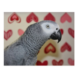 Valentine's Day African Grey Parrot Postcard