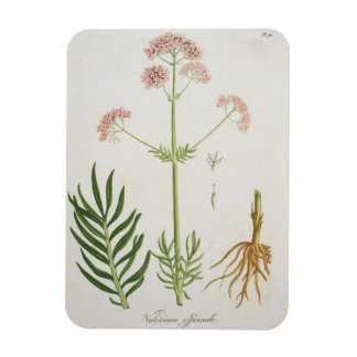 Valerian from Phytographie Medicale by Joseph Ro Vinyl Magnet
