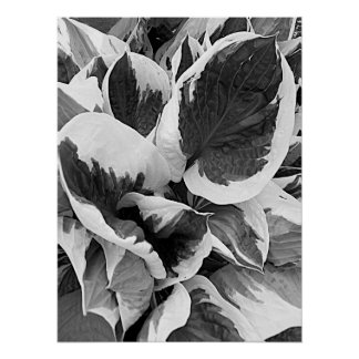 Variegated Hosta Leaves Black and White Photo Poster
