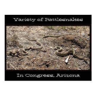 Variety of Rattlesnakes In Congress AZ... Postcard