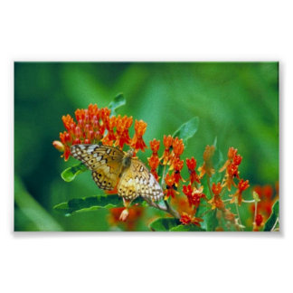 Varigated fritillary on Butterfly weed Poster