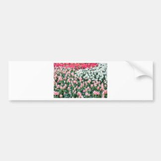 Various red tulips and white daffodils bumper sticker