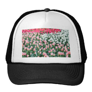 Various red tulips and white daffodils cap