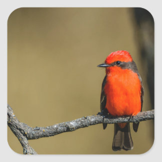 Vermillion Flycatcher Accessories and Gifts Square Sticker