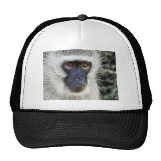 vervet-monkey-275013  vervet monkey monkey female hat