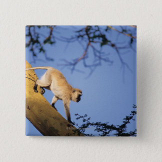 Vervet monkey on tree branch , Serengeti 15 Cm Square Badge