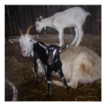 VERY CUTE GOAT PICTURE. PRINT