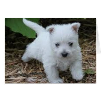 Very Cute Westie Puppy Card