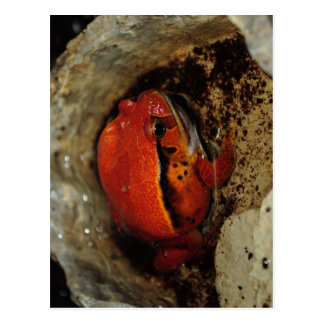 Very nice tomato frog. Frog with unusual color. Postcard