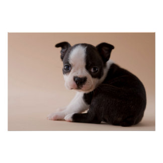 Very Young Boston Terrier Puppy Poster