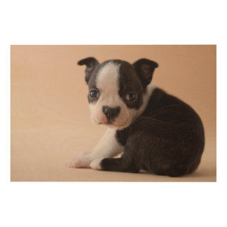 Very Young Boston Terrier Puppy Wood Prints