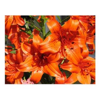Vibrant Orange Tiger Lilies Postcard