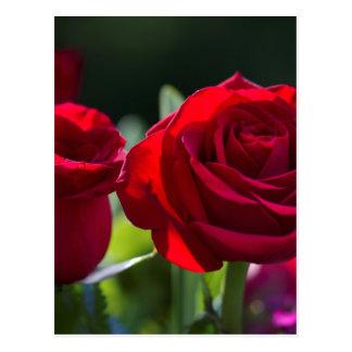 Vibrant Romantic Red Roses Postcard