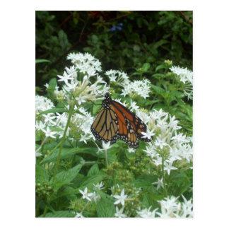 Viceroy Butterfly Photo Postcard