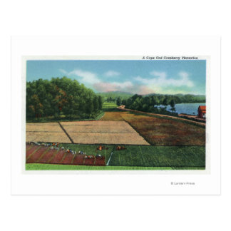 View of a Cranberry Plantation Postcard