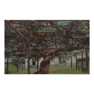 View of a Giant Grape Vine Poster