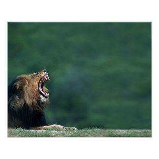 View of a Lion (Panthera leo) opening its mouth Poster