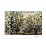 View of a Prune Orchard of 300,000 Trees Post Cards