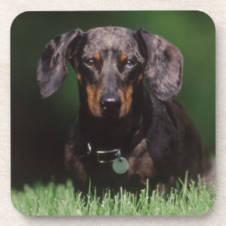 View of Dapple colored Dachshund Drink Coaster