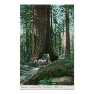 View of Horse Carriage Under Wawona Tree Posters