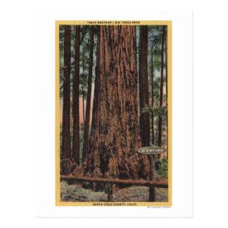 "View of ""Neck Breaker"" at Big Trees Park Postcard"