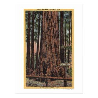 "View of ""Neck Breaker"" at Big Trees Park Postcard"