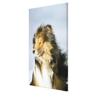View of shetland sheepdog gallery wrap canvas