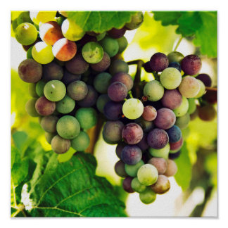 Vine Grapes Photography,  Autumn Fall Sunbeams Poster