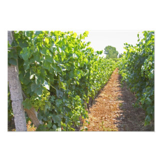 Vines trained high on wires supported by photographic print