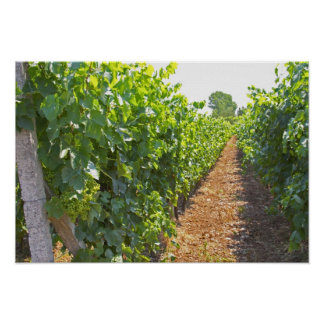 Vines trained high on wires supported by poster