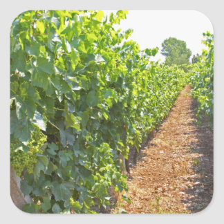 Vines trained high on wires supported by square sticker