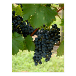 Vineyard Grapes Postcard