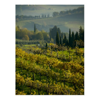 Vineyard, Tuscany, Italy Postcard