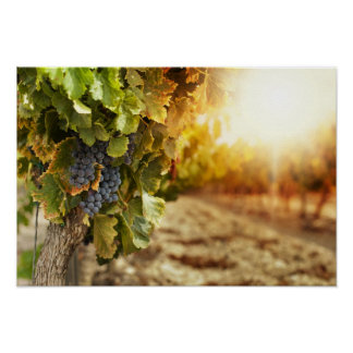 Vineyards At Sunset Poster