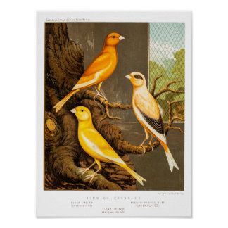 Vintage 1800s Canary Song Bird Template Canaries Poster
