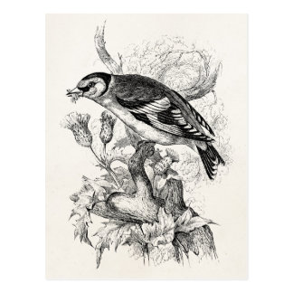 Vintage 1800s Goldfinch Bird Illustration - Birds Postcard