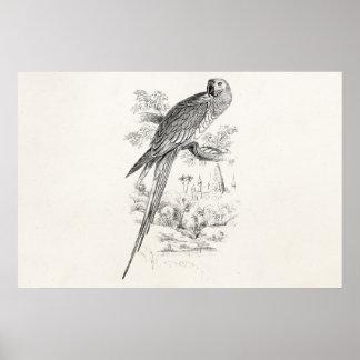 Vintage 1800s Great Green Macaw Bird Maccaw Birds Poster